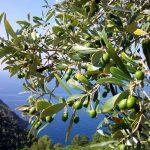 Olio extravergine d'oliva: l'oro verde d'Italia
