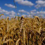 Nel germe di grano la vitamina della giovinezza